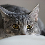 todo sobre gatos domésticos