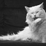 la higiene y el gato