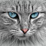 Gato ojos turquesa