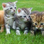 Manada de gatitos