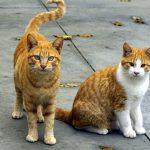 Gatos naranjas