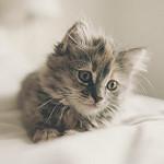 gatito tierno gris