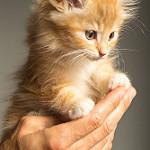 gatito tierno naranja